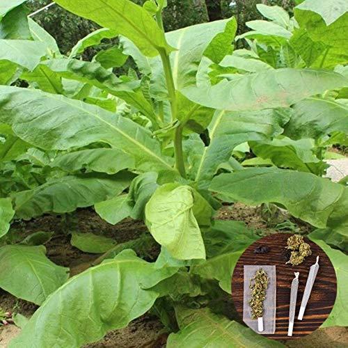 Clifcragrocl Lot de 30 graines fraîches de tabac de Virginie ancestral, faciles à cultiver