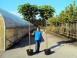 Kugel – Trompetenbaum - Catalpa bignonioides'Nana' Containerpflanzen Stammhöhe 200 cm - Solitärbaum