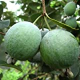 Brasilianische Guave FEIJOA 60 cm 5 L Co.