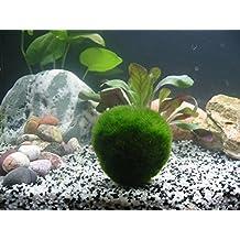 1 pelota de musgo gigante Living Marimo (~2 pulgadas) + 1 Nano Marimo Free. Live Cladophora - Planta acuática para acuario para pecera o camarón, ...