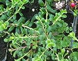 Arctostaphylos uva-ursi - Echte Bärentraube - Europäische Bärentraube