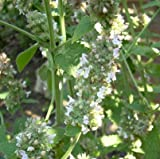 lichtnelke - Zitronenkatzenminze (Nepeta cataria ssp. citriodora)