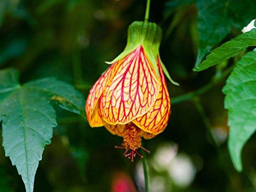 Blühende Ahornsamen - Abutilon hybridum - 78 samen