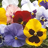 "Desconocido Generic Flower Pansy Invierno Floraciã""N HIEMALIS Mixed 2500 Seeds Bulk"