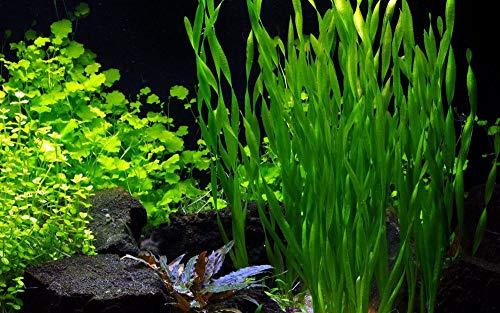 Tropica Aquarium Pflanze Vallisneria Americana \'Asiatica\' im Bund Nr.056A BDT Wasserpflanzen Aquarium Aquariumpflanzen