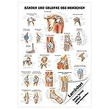 Bänder und Gelenke Lehrtafel Anatomie 100x70 cm medizinische Lehrmittel