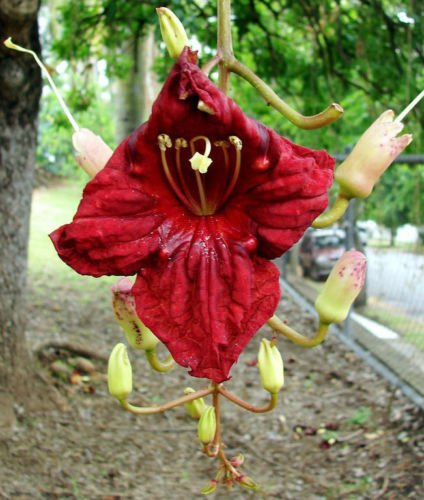 Kigelia africana | Arbre de saucisses | 10_Seeds