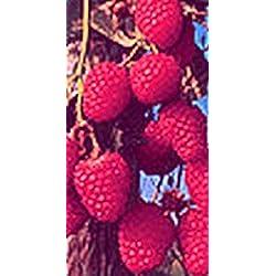 Himbeere - Rubus idaeus - Autumn Bliss - saftige, weit verbreitete Herbsthimbeere