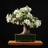 200pcs Gardenia Seeds (Capo Jasmine), semi di bonsai di fiori, l'odore e bellissimi fiori piante per la casa e giardino in vaso