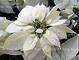 Green Seeds Co. 100 Stück Bonsai Poinsettia Pflanze, Euphorbia Pulcherrima, seltene Blütenpflanzen Pflanze, Balkon Topfpflanzen Pflanzen: 1