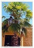 TROPICA - Palma del Giappone (Chamaerops excelsa) - 10 Semi- Resistente al freddo