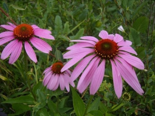 Purpur-Sonnenhut - Purpurrudbeckie - Echinacea Purpurea - 240 Samen
