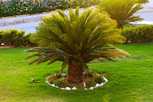 Cycas revoluta- Japanische Kogelpalme- Gesamthöhe: 100+cm Stamm 20cm Topf Ø 35cm -17 Ltr.