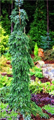 50 PC/Beutel klettern Blue Spruce Samen Picea Baum Topf Bonsai Hof Garten Bonsai Pflanze Kiefer Samen für den Hausgarten 7