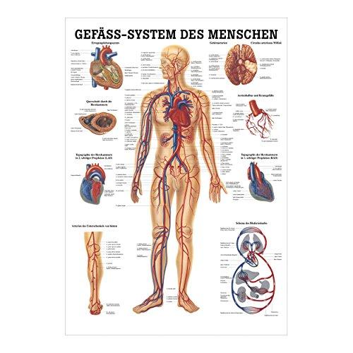 """Anatomisches Poster """"Das Gefäßsystem des Menschen"""", 70×50 cm"""