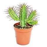 Euphorbia enopla - kleine Pflanze im 5,5cm Topf