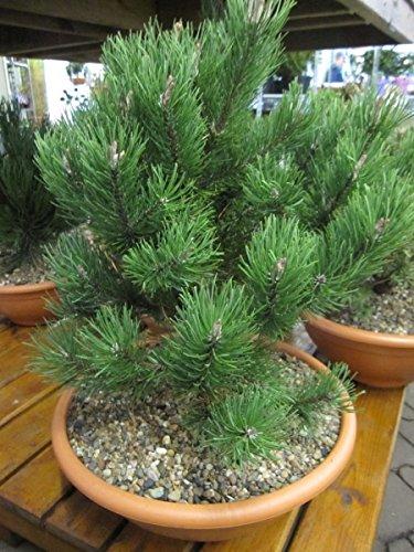 Pinus mugo Laurin - Zwergbergkiefer Laurin 30-40