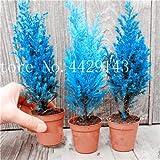 IDEA HIGH Samen-Garten Topfpflanze 30 Stück seltene blaue Zypresse Bonsai-Baum, Bonsai für Blumentopf Pflanzgefäße: 4