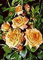 'Barock' (R), Kletterrose im 4 L Container von Rosen-Union auf Du und dein Garten