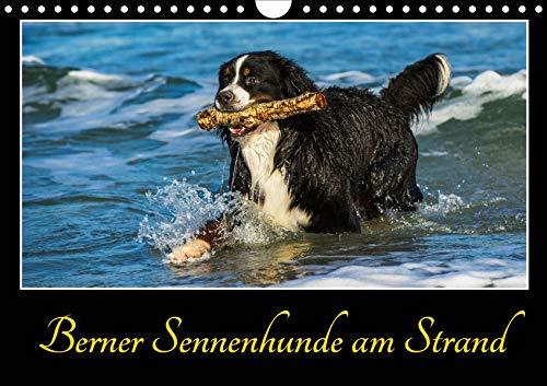 Berner Sennenhunde am Strand (Wandkalender 2020 DIN A4 quer): Lassen Sie sich verzaubern von temperamentvollen Berner Sennenhunden am Ostseestrand (Monatskalender, 14 Seiten ) (CALVENDO Tiere) -