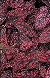 Just Seed - Flower - Hypoestes splash Select Red - 100 Seeds - Large Pack