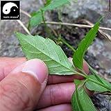 Reales Semillas Semillas chino El Gynostemma pentaphyllum Patio Bonsai Jiaogulan al aire libre Jardín de Plantas Hierbas Medicina