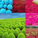 Kisshes Giardino - 200 pezzi esotici ornamentali semi di erba pelle d'orso copertura del suolo hardy perenne multicolore, giappone-sedge ginestra erba bassia scoparia seme