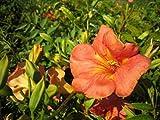 Chinesische Trompetenblume - Campsis Grandiflora - Kletterpflanze, schnellwachsend, reichblühend, 40-60 cm