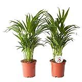 Palmiste multipliant 35 à 125 cm disponible avec jardinière | Areca dypsis lutescens