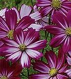 Schmuckkörbchen Cosmea Cosimo Purple Red-White Samen