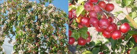 1X 5FT MALUS RED JADE WEEPING TREE - FLOWERING CRAB
