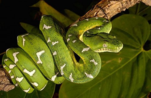 Fine Art Print – Emerald Tree Boa Erwachsene, Amazon, Ecuador von Bentley Global Arts Gruppe, Papier, multi, 15 x 10