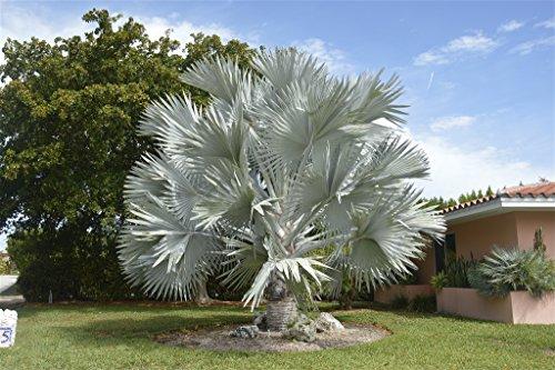 100 cm Große und seltene Bismarck Palme Bismarckia nobilis Topfdurchmesser 25