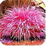 Pinkdose 100 Teile/beutel Bunte Schwingel Gras Bonsai Indoor Garten Festuca Mehrjährige Winterharte Zierpflanzen Einfach Wachsen Bonsai Sementes: 7