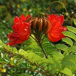 15 Seeds - Spathodea campanulata - Afrikanischer Tulpenbaum - Brunnen Baum