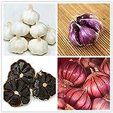 AIMADO Samen-Rarität 30 Pcs Knoblauch Saatgut Mild-würziges Bio Gemüse Pflegeaufwand: gering