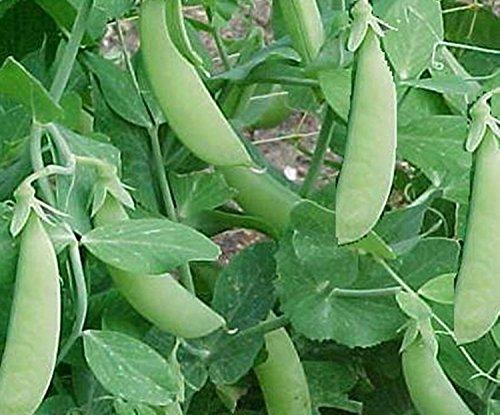 Samen Grüne Bush Pea Adagumsky Organically Russisch Erbstück Gemüse Grown -