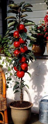 Säulenapfel Rotbäckchen (syn McIntosh®). 1 Pflanze - zu dem Artikel bekommen Sie gratis ein Paar Handschuhe für die Gartenarbeit dazu