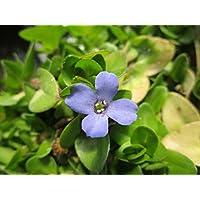 kleines Fettblatt Bacopa monnieri monieri Saatgut Brahmi 10.000 Samen