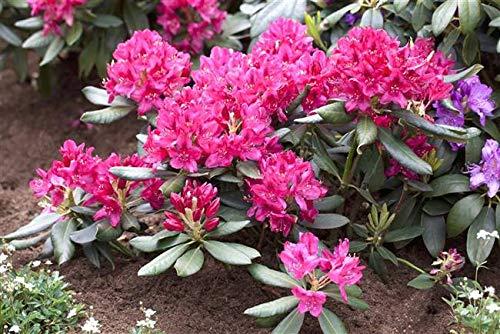 Rhododendron Nova Zembla Alpenrose rot 30-40cm im Topf gewachsen
