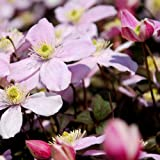 Plant World Seeds - Clematis Montana Perfumed Mixed Seeds