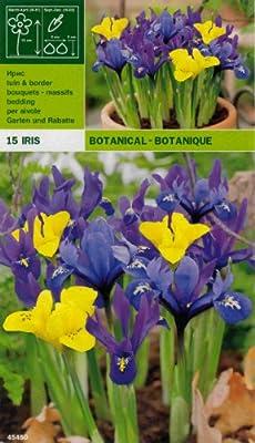 """Zwergiris Iris """" reticulata danfodia MIX """" (15) von MOSSELMAN - Du und dein Garten"""