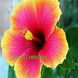 100Giant Hibiskus Blume Samen Hardy, Mix Farbe, DIY Home Garden oder Yard Blumen Topfpflanzen,