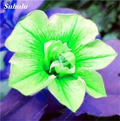 100 pcs / sac pétales de double Petunia Graines Bonsai Graines de fleurs Court Taille Jardin Fleurs Graines d'intérieur ou Ourdoor Pot 22 Plante