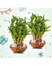 Nurturing Green 2- Layer 17-19 Stalks Combo of 2 Lucky Bamboo Plant in Glass and Ceramic Pot. (2 Lucky Bamboo Plant in matki Glass Pot, Transparent)