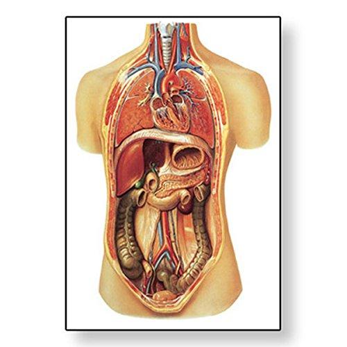 3B Scientific V2006U Lehrtafel, Innere Organe (Organe Innere)