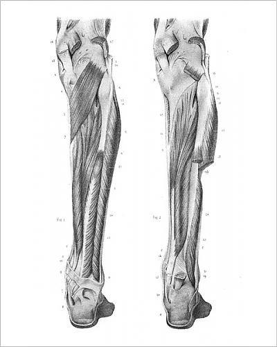 photographic-print-of-posterior-leg-region-anatomy-engraving-1866