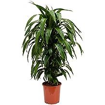 Zimmerpflanzen Für Wenig Licht suchergebnis auf amazon de für zimmerpflanzen wenig licht