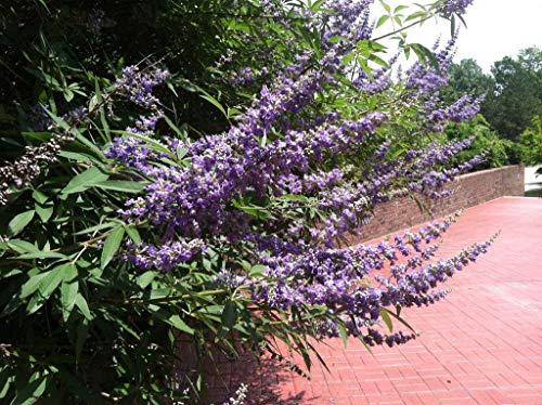 Germinazione dei Semi: 25 Casto Seme Vitex Agnus Castus Monk Pepper Seeds Fiore Comb S/H