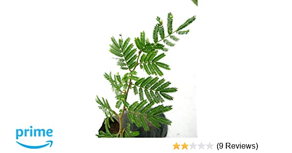 Lalita ji crystal MG Naturals Shami Tree/Banni Tree/Vanni Maram- Live Plant  With Pot